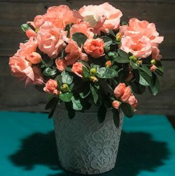pink-azalea-flower-arrangement