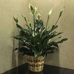 peace lily plant in a woven basket