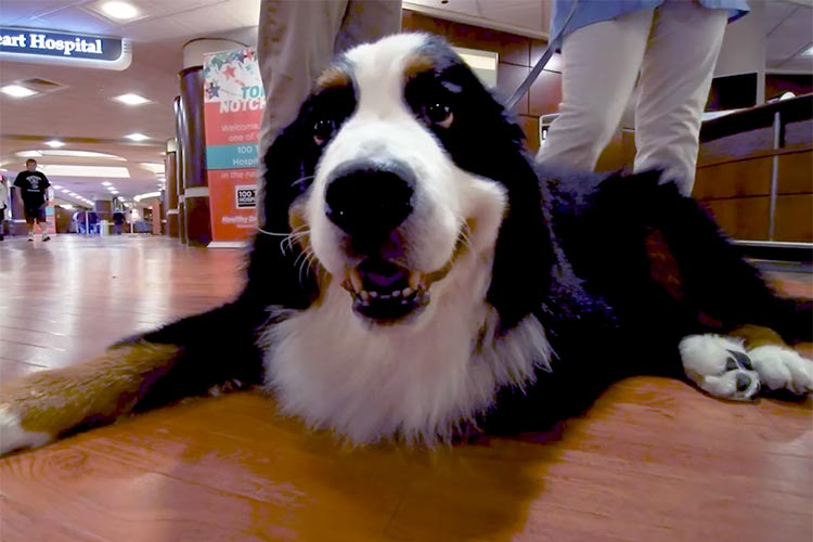 Hospital volunteers come in all forms, even four legged ones